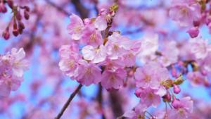 春の桜と宇治抹茶のモンブラン,シャトレーゼ,カロリー